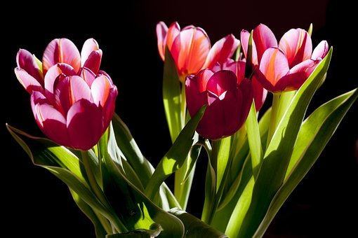 tulip, flower  free images on pixabay, Natural flower