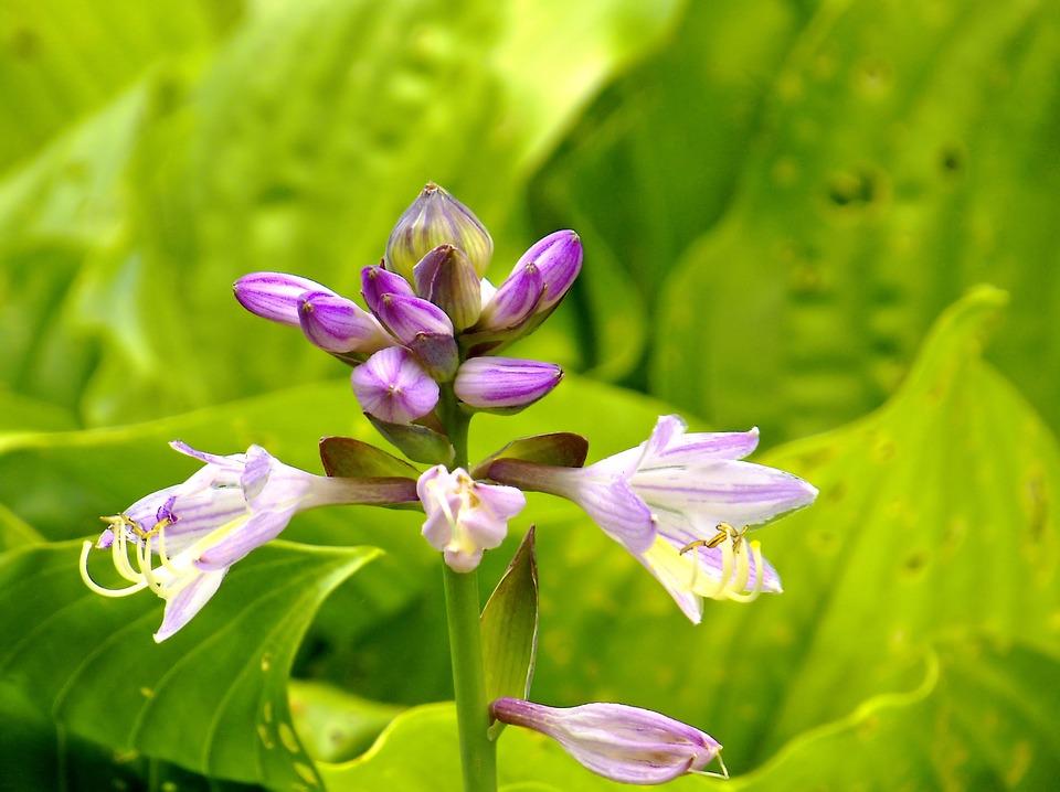 Hosta Fleur Plante Vivace Photo Gratuite Sur Pixabay