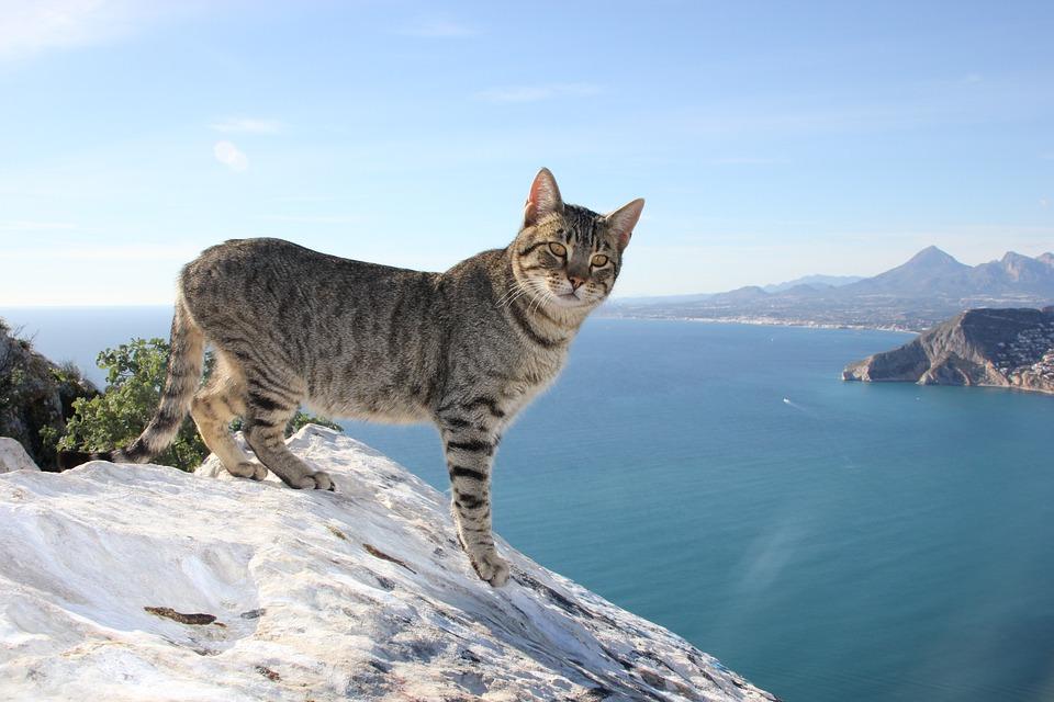 cat feline calpe  u00b7 free photo on pixabay