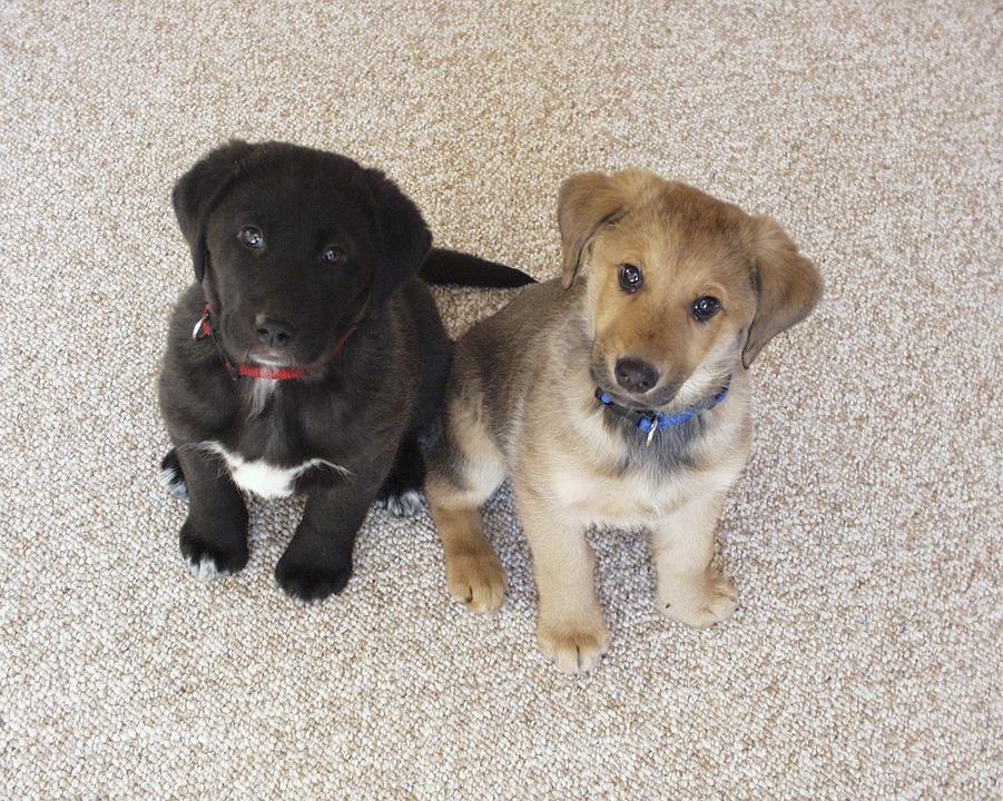 Labrador Puppies Dogs Free Photo On Pixabay