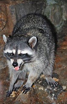 Raccoon, Animals, Mammals, North America