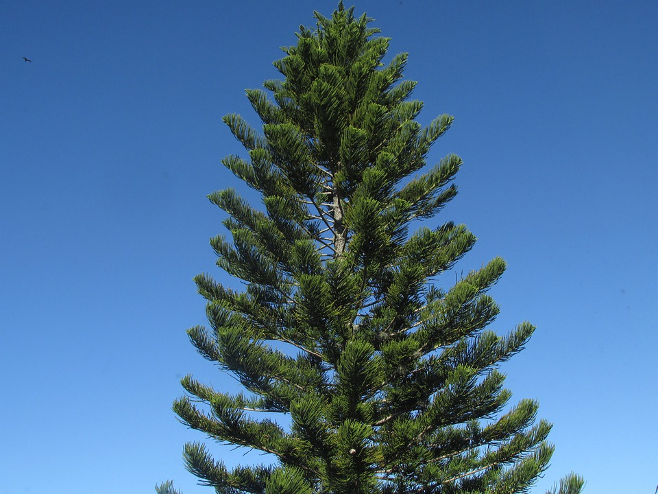 Pino albero ramo di foto gratis su pixabay for Tipos de pinos para jardin fotos