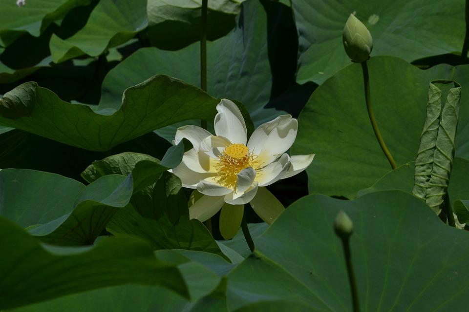 Lotus flower single free photo on pixabay lotus flower single special love prayer mightylinksfo