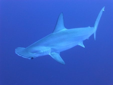 Sharks Blue Underwater Hammerhead Sharks M