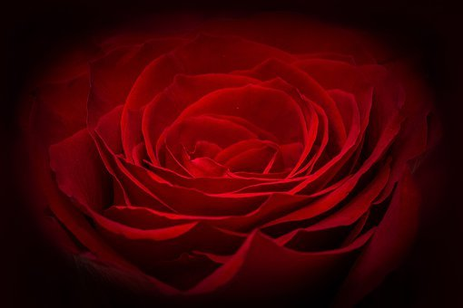 6000 Free Red Rose Rose Images Pixabay