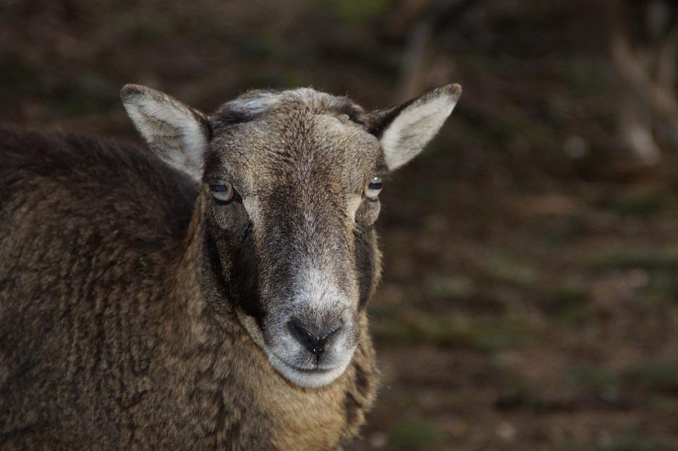 Photo gratuite moutons fourrure dessin de t te image - Dessin tete de mouton ...