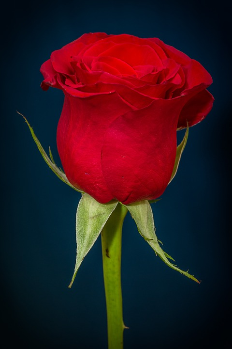 Rose Red Free Photo On Pixabay