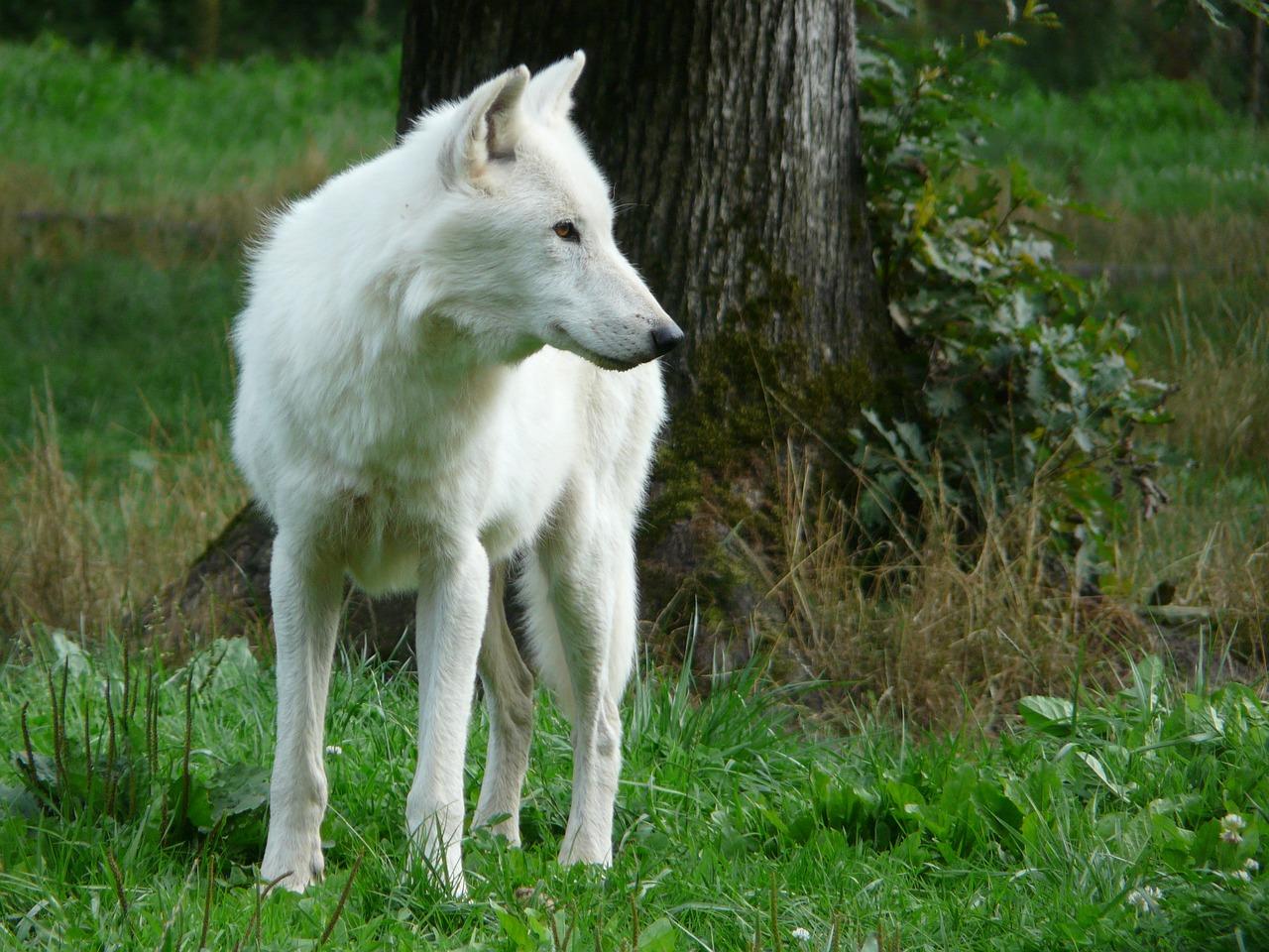 фото белого волка в хорошем разрешение отдых