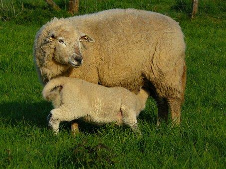 Sheep, Wool, Animal, Fur, Meadow, Grass