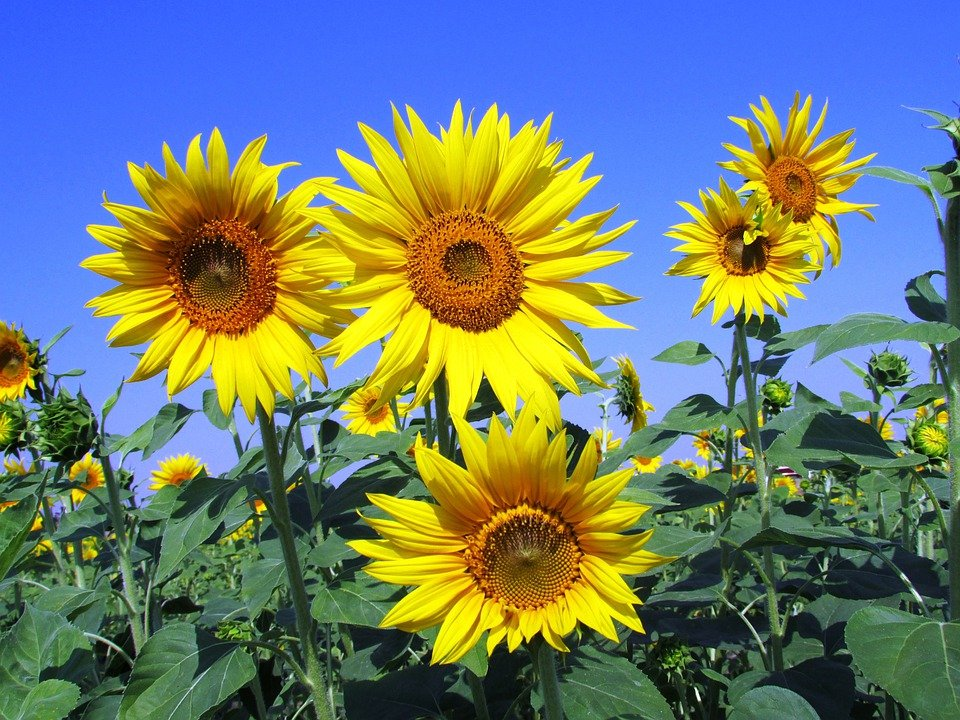 sunflower  free images on pixabay, Beautiful flower