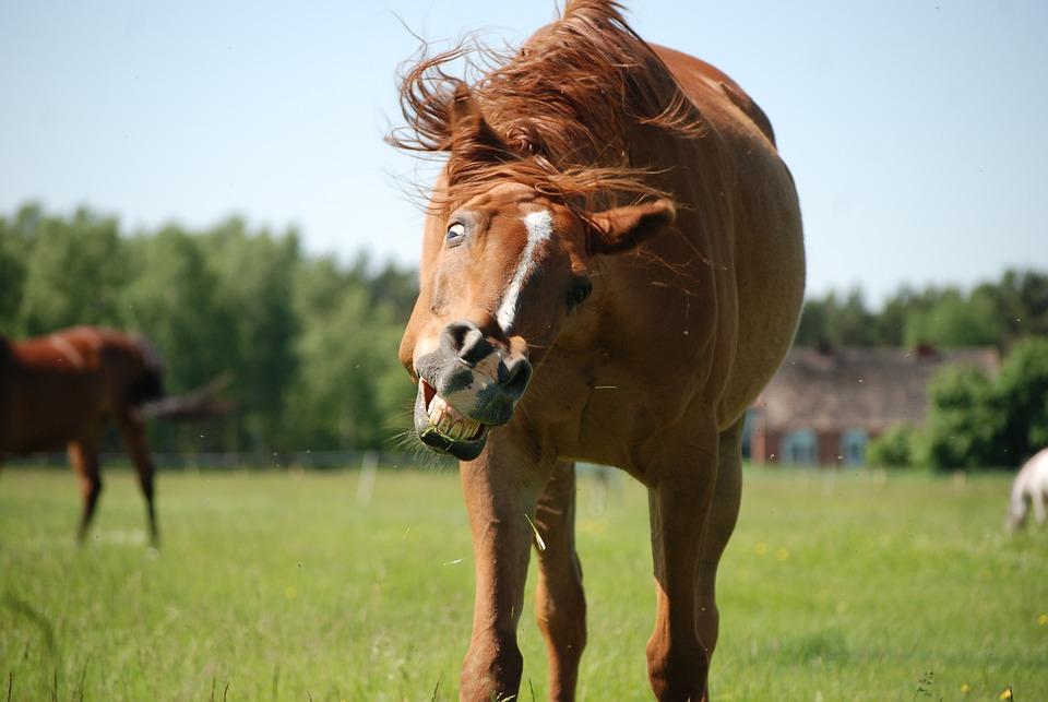 馬, 牧草地土地, 牧草地, 動物, キャットウォーク, ポニー, 笑顔, 愚かなミナ, 馬の頭