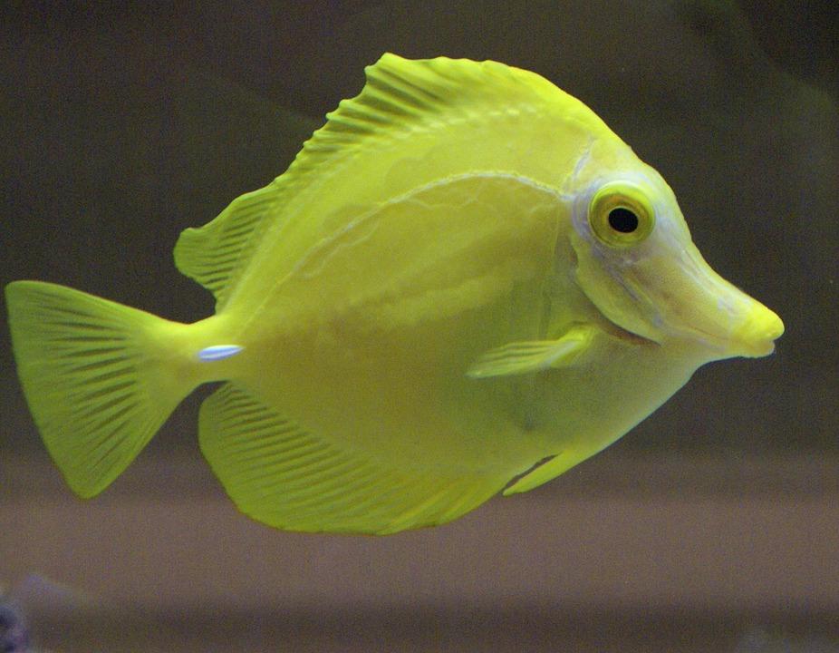 Free photo fish yellow aquarium sea life free image for Yellow fish tank water