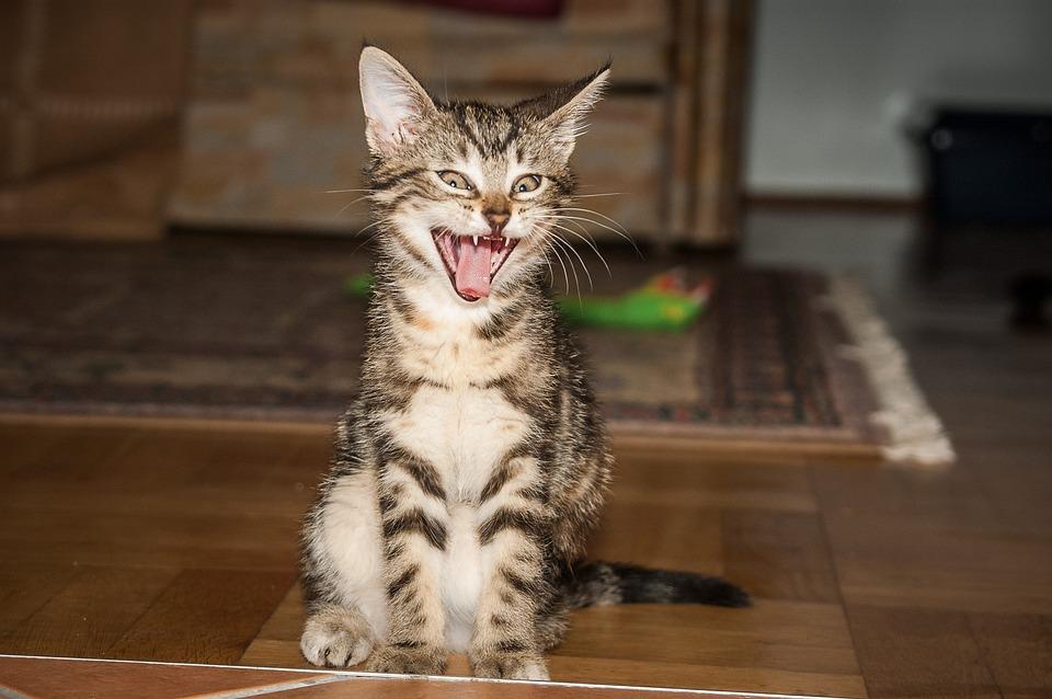 Sala Do Tigre, Gato, Bocejo, Dente, Língua De Gato, Pet