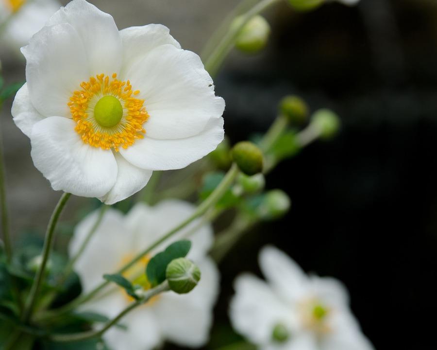 White Poppy Flowers · Free photo on Pixabay