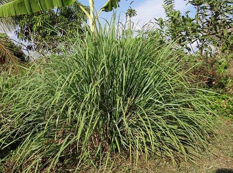 Cymbopogon, Serai, Rumput, Tanaman
