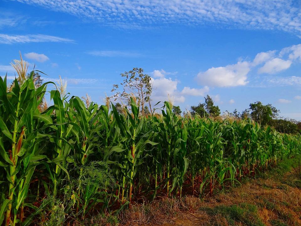 De Maíz, De Cultivos, Cultivo, Agricultura, Granja