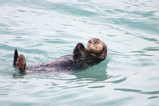 Otter Alaska Floating Swimming Sea Ocean M