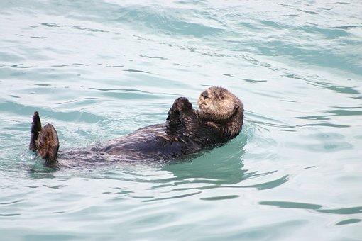 Otter Alaska Floating Swimming Sea Ocean M