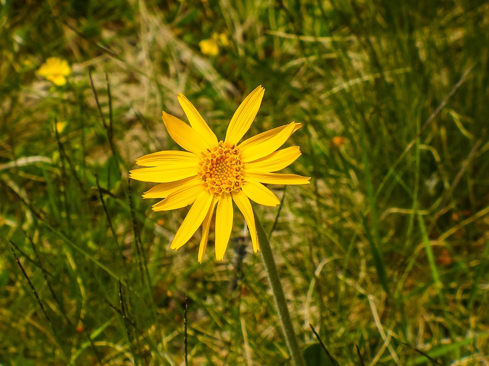Arnica Montana Medicinal - Free photo on Pixabay