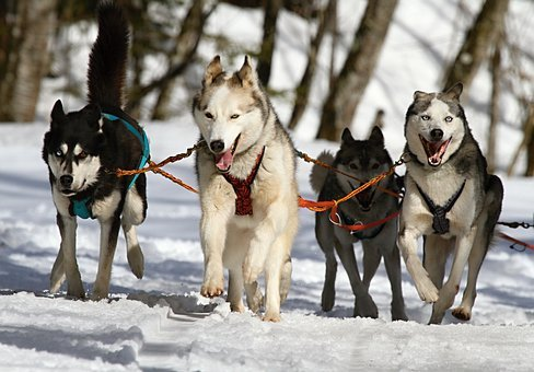 Huskies, Husky, Dogs, Race