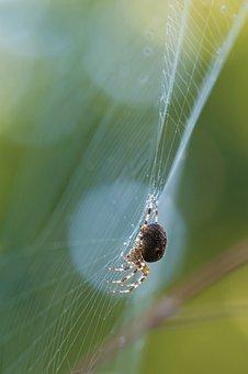 Schilfradspinne, Spider