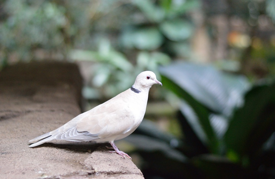 Exceptionnel Free photo: White Pigeon, Dove, Bird, Nature - Free Image on  HW33