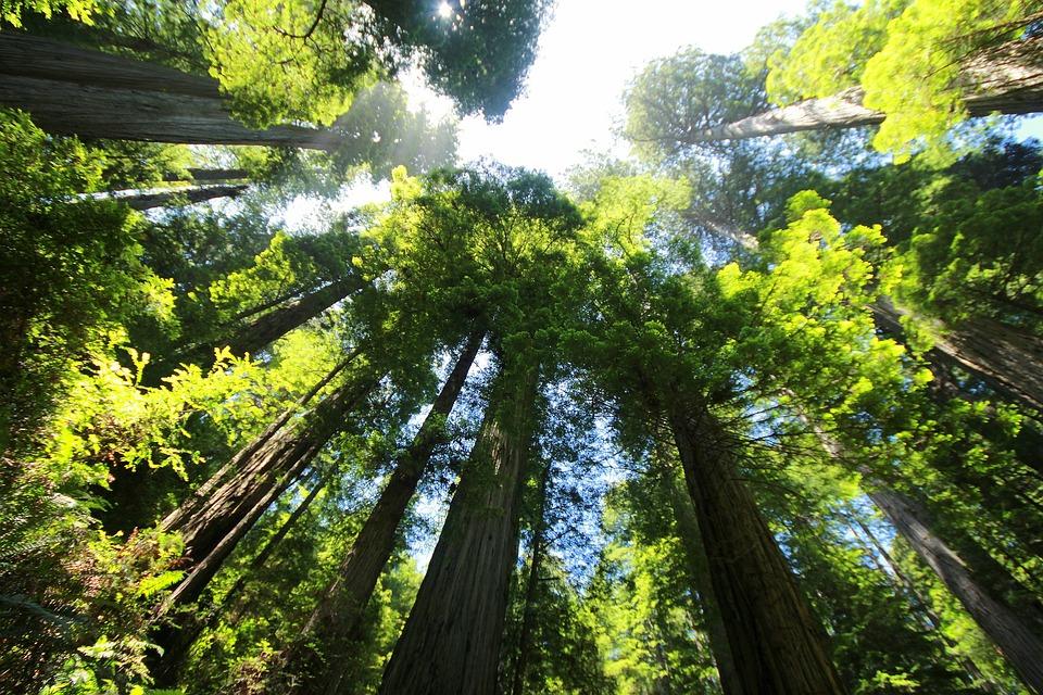Sequoia, Les, Sekvoje, Obří Sekvoje, Mamutí Strom