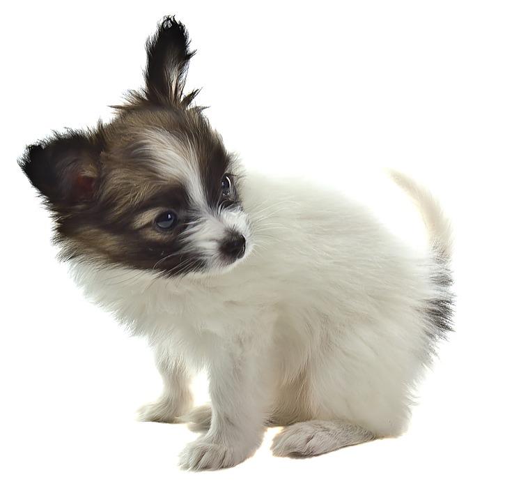 Papillon Hund Kostenloses Foto Auf Pixabay