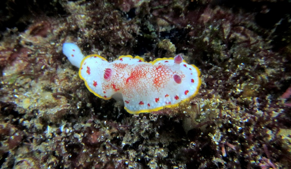 Nudibranco, Snorkeling, Immersioni Subacquee