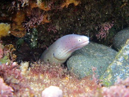 Moray, Eel, Sea-Life, Ocean, Sea, Marine