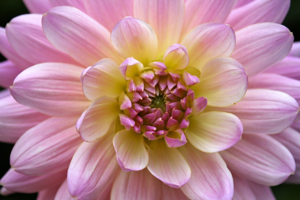 Dahlia Flower Macro Close Free Photo On Pixabay