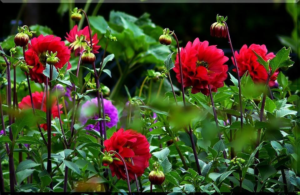 photo gratuite: dahlias, dahlia, rouge, fleur - image gratuite sur