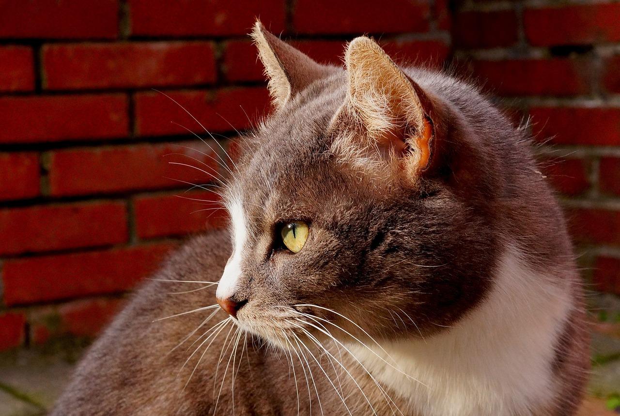 Шлейка для кошек как одеть в картинках модное украшение