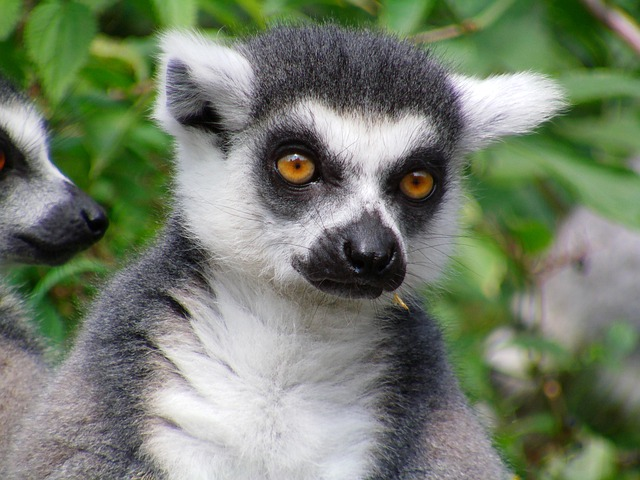 Sifaka And Ring Tailed Lemur