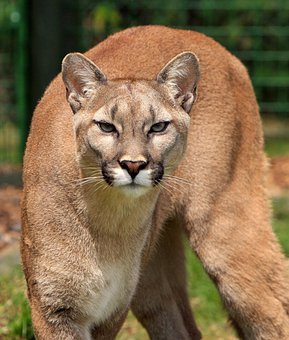 Cougar, Mountain Lion, Puma Concolor