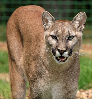Cougar Mountain Lion Big Cat Feline Beauti