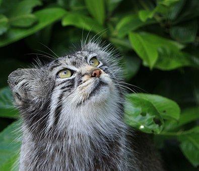 Pallas Cat, Cat, Manul, Wild, Wild Cat