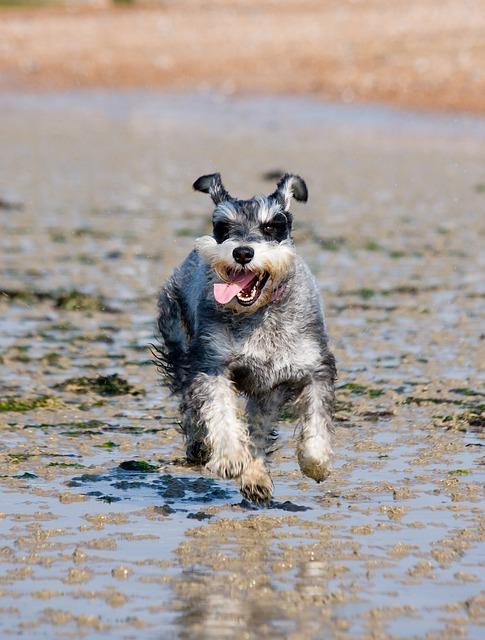Schnauzer Miniature Dog 183 Free Photo On Pixabay