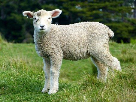 Sheep White Lambs Goats Animals Mammals Fu