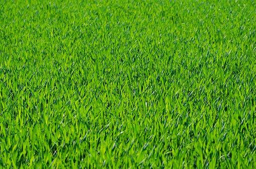 grass background. grass grassy stalks green background r