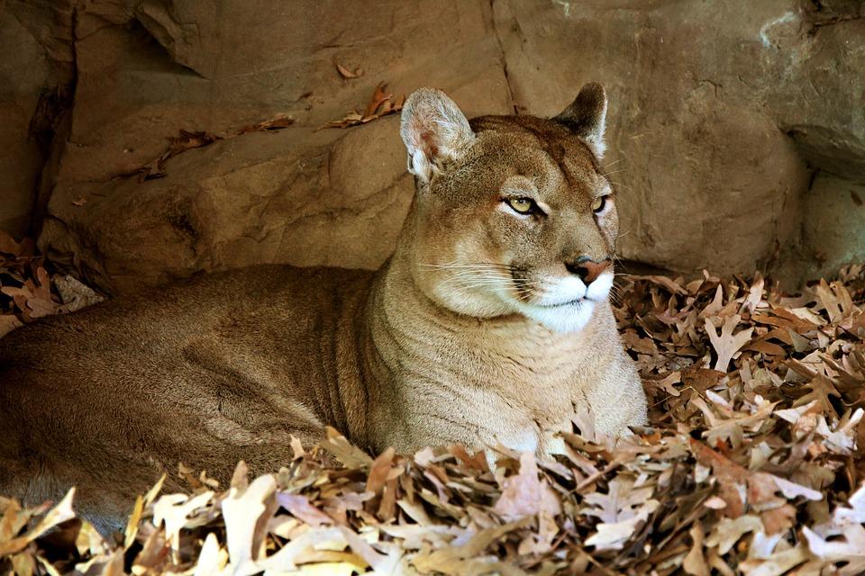 Animal, Beige, Cat, Endangered, Face, Fall, Feline