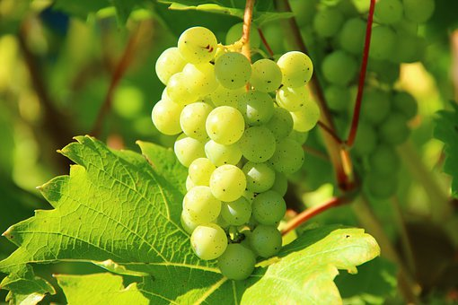 Grapes, Wine, Fruit, Vines, Vines Stock