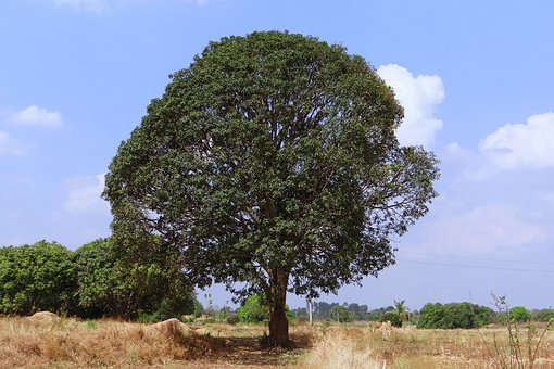 Mango Tree Images Hd Download