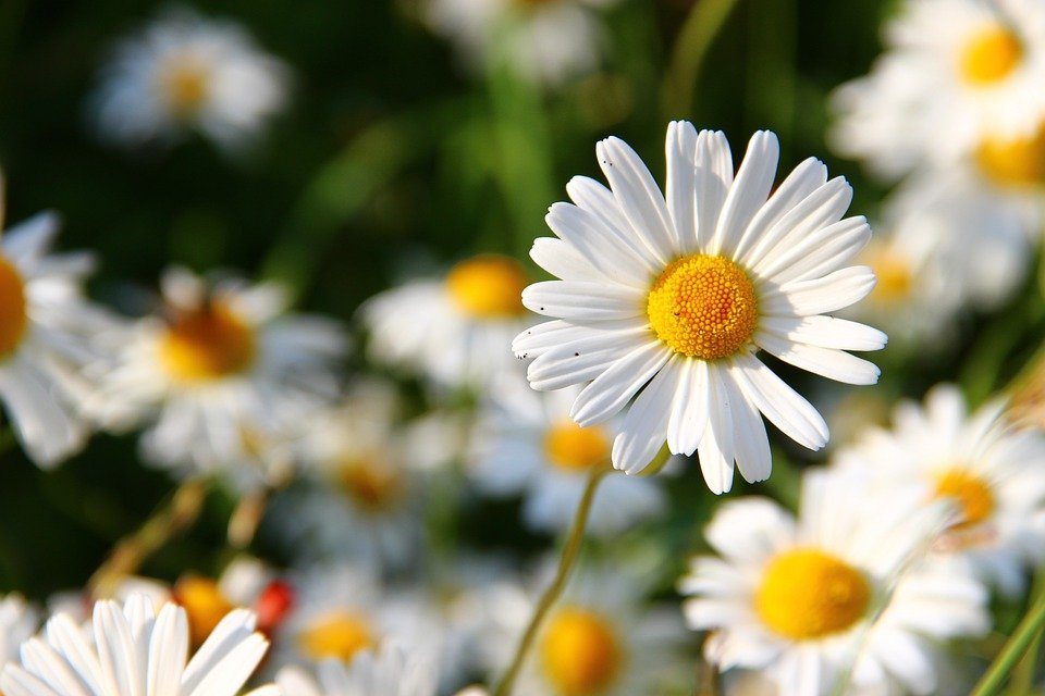 free photo daisies, white, flower, face  free image on pixabay, Beautiful flower