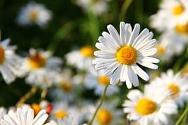 Flowers white summer free photo on pixabay daisies white mightylinksfo
