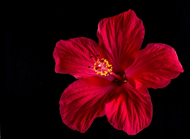 Hibiscus Fleur Rouge Photo Gratuite Sur Pixabay