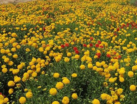 Flowers, Wildflowers, Chrysanthemum