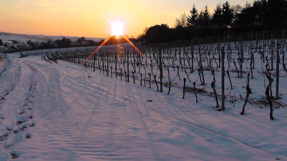 Invierno, Viñedo En Invierno, Viña, La Nieve, Invernal