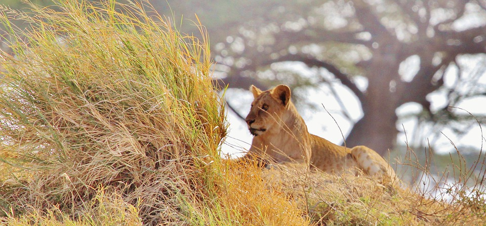 Lion, Afrique, Safari, Tanzanie, La Nature, Serengeti