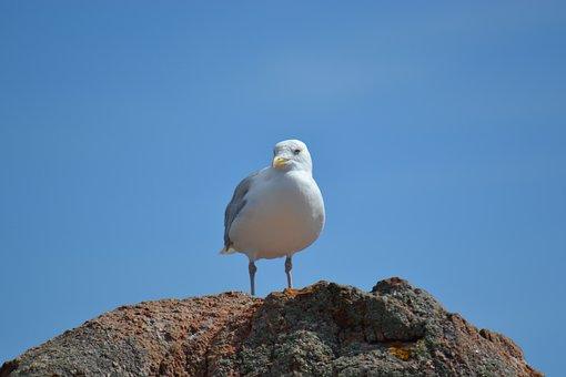 鴎, ヨーロッパのセグロカモメ, 下関, 鳥, 海の鳥, 青い空, 石, 海辺
